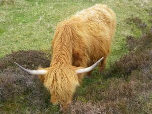 la vache des Highlands, plus originale que le mouton